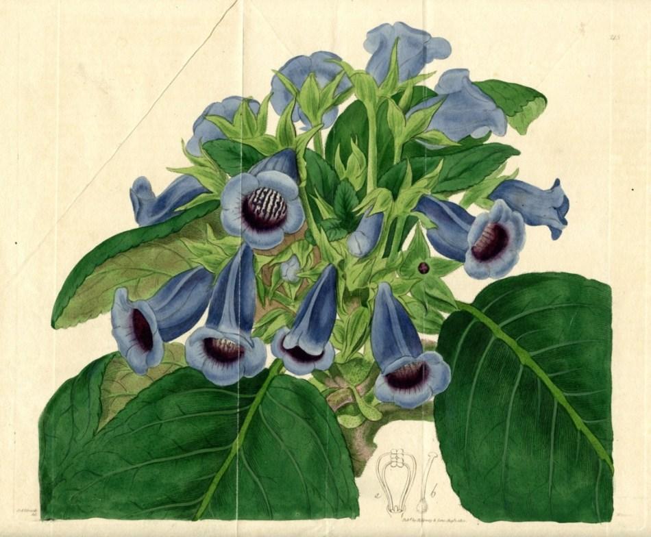 Illustration botanique du gloxinia des fleuristes, avec fleurs couleur lavande.