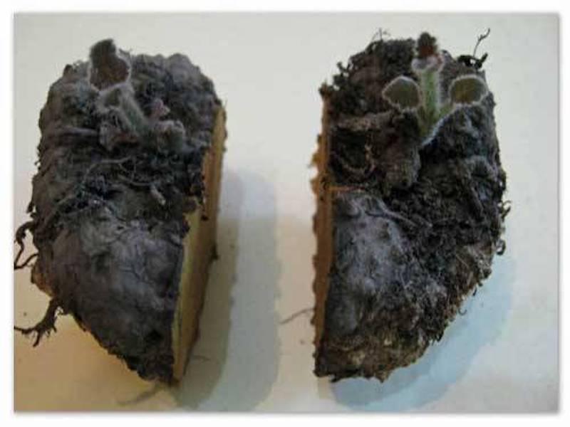 Tubercule de gloxinia des fleuristes coupé en deux.