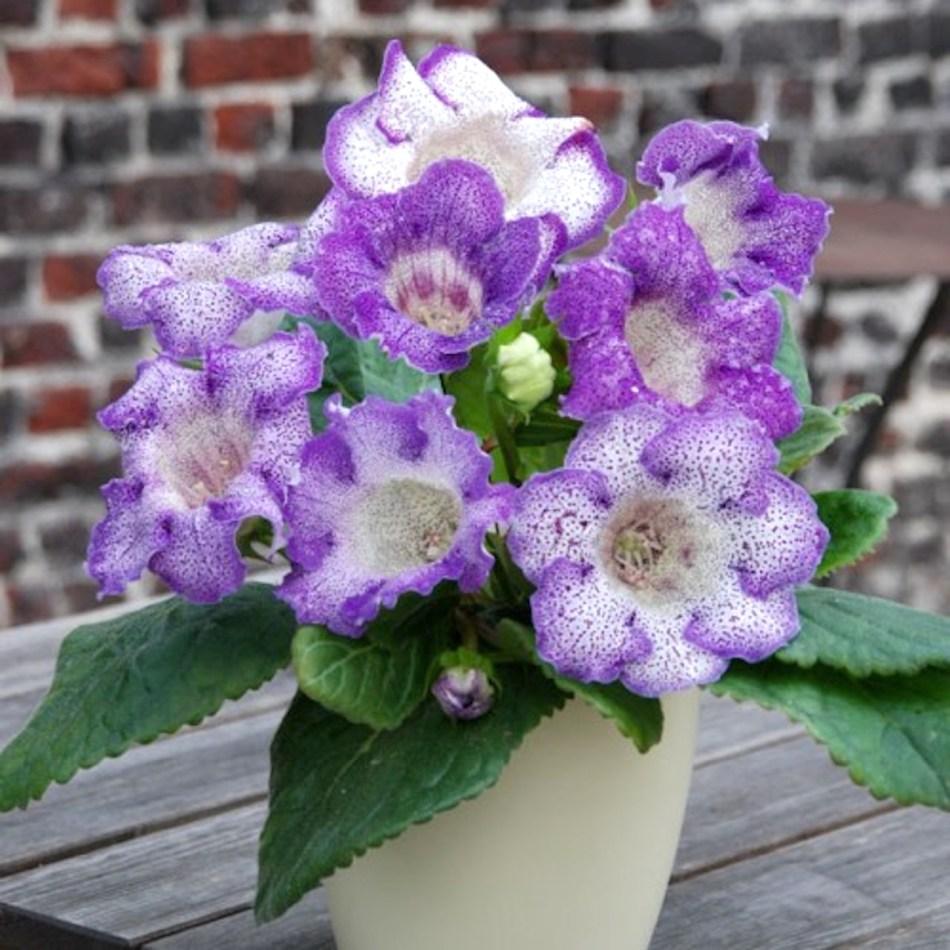 Gloxinia des fleuristes 'Tigrina Blue' aux fleurs blanches fortement picotées de lavande.