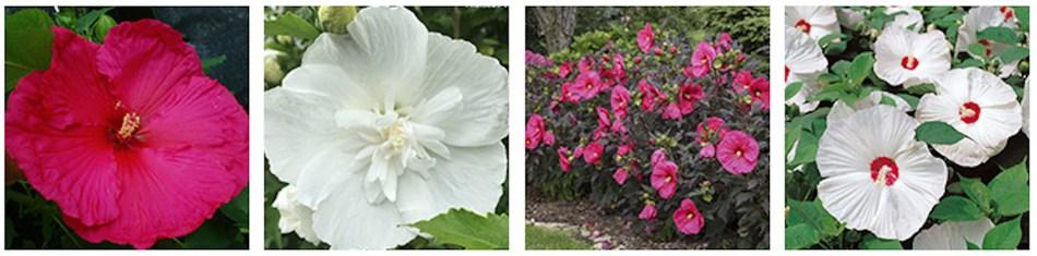 4 variétés d'hibiscus vivaces différentes