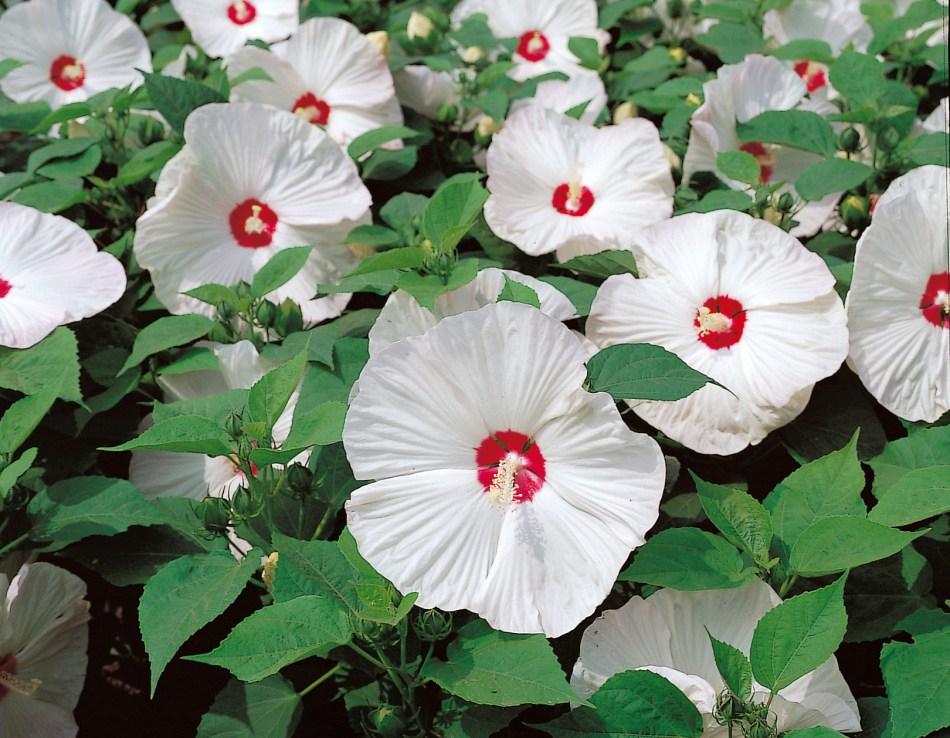 Hibiscus vivace 'Disco Belle White': fleur blanche, œil rouge.