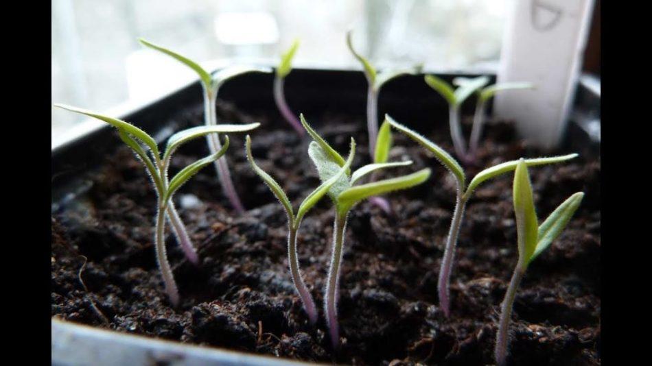 Jeunes semis de tomate montrant seulement des cotylédons.