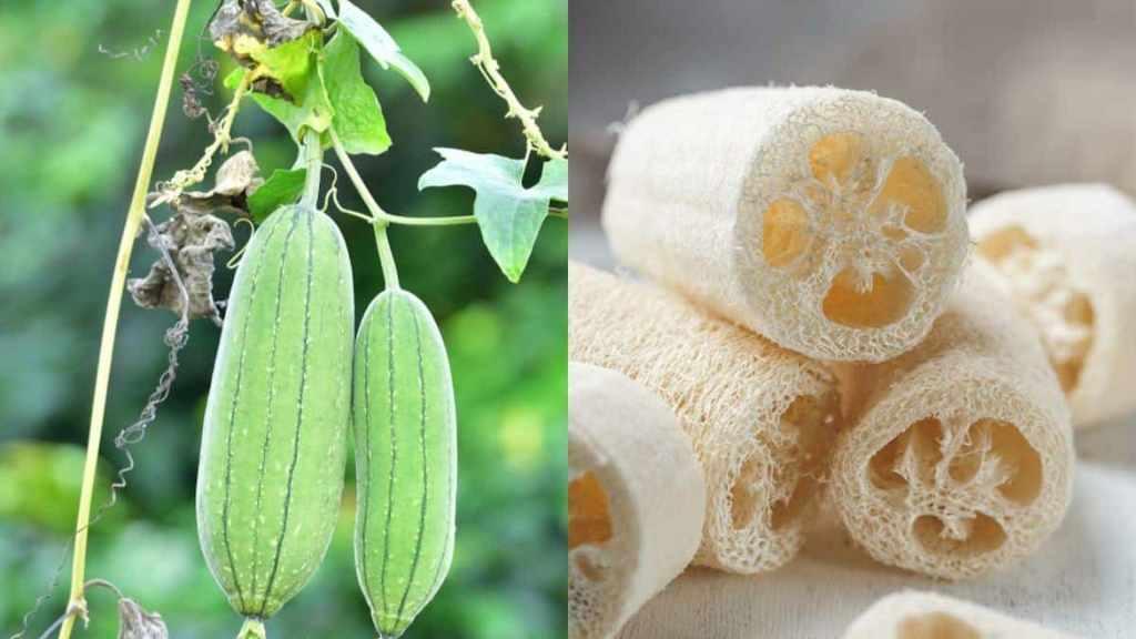 Fruits de luffa verts, sur la vigne, et autres fruits séchés comme éponge.