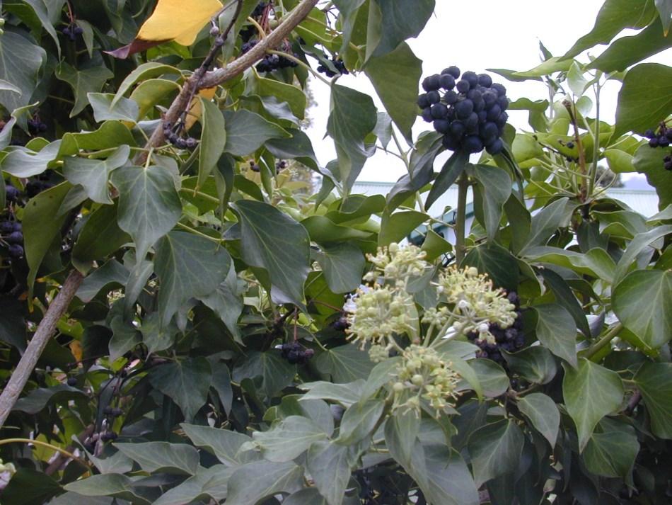 Lierre commun mature avec des fleurs et des baies noires.