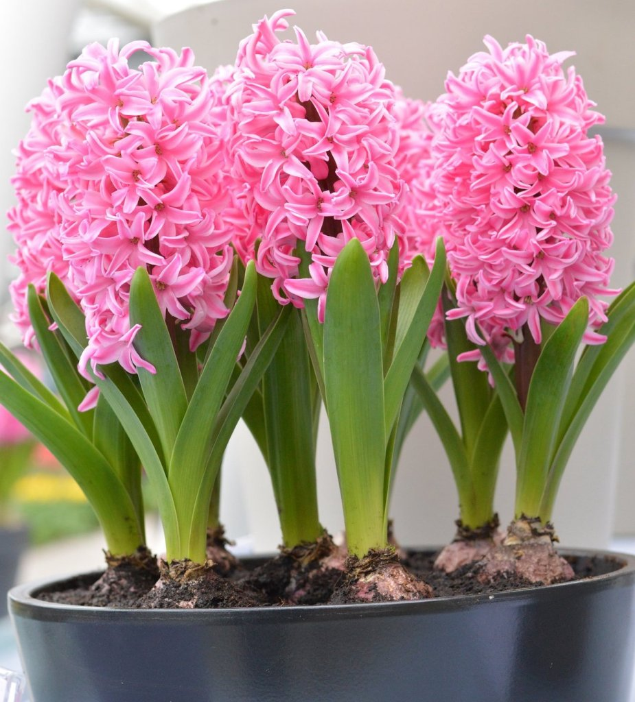 Pink pearl hyacinths in a pot.