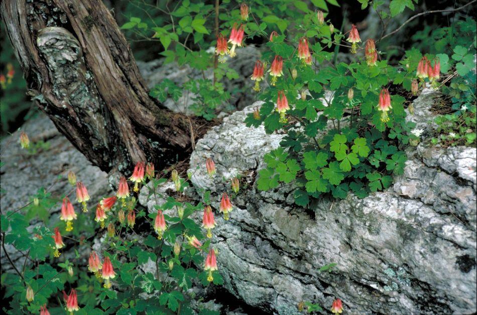 ancolie du Canada (Aquilegia canadensis).