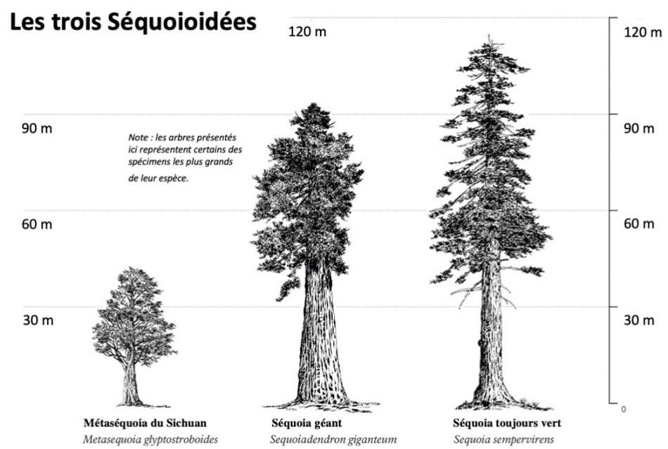 Illustration comparant le métaséquoia, le séquoia géant et le séquoia toujours vert.