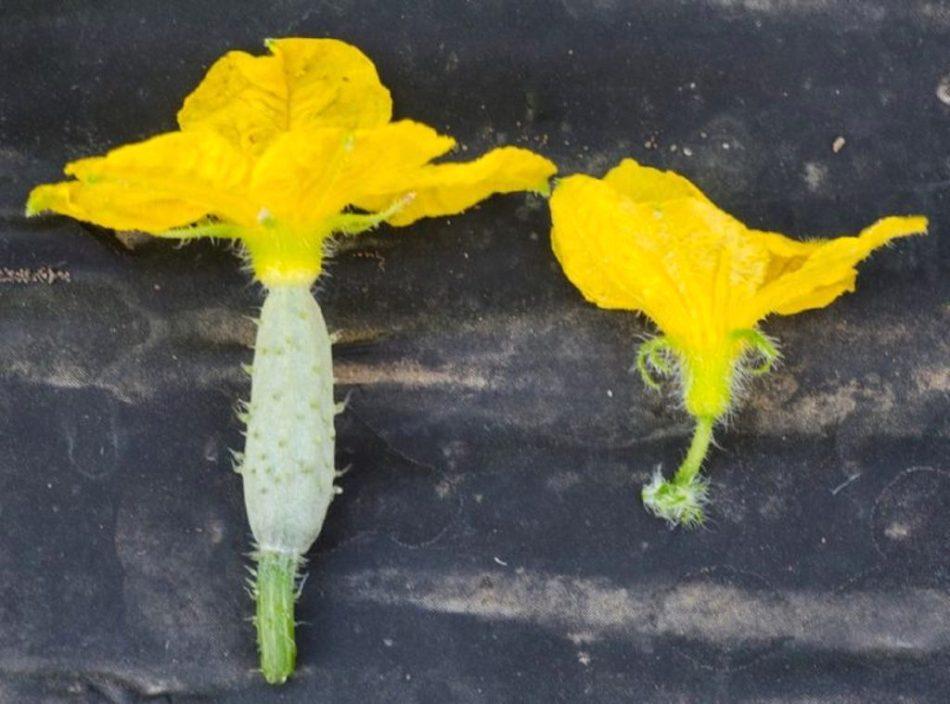 Fleurs femelle avec ovaire et fleur mâle sans ovaire.