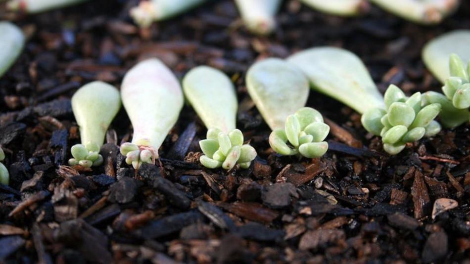 Boutures de feuilles d'echevéria montrant de bébés plants qui commence à pousser.