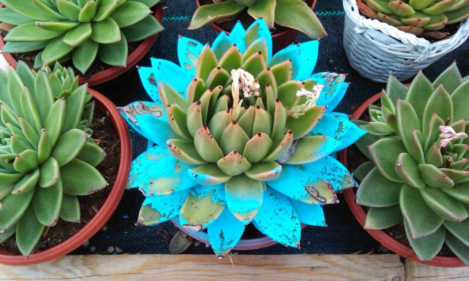 Echeveria agavoides peint en bleu avec de la nouvelle croissance verte au centre.