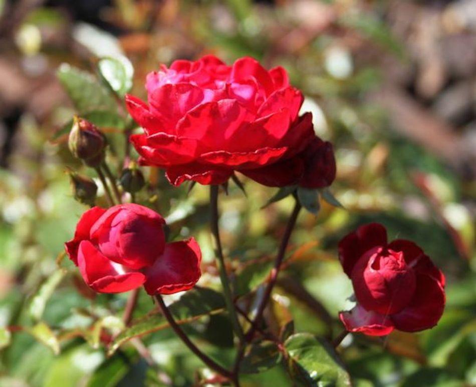 Rosier Morsdag à petites fleurs rouges.