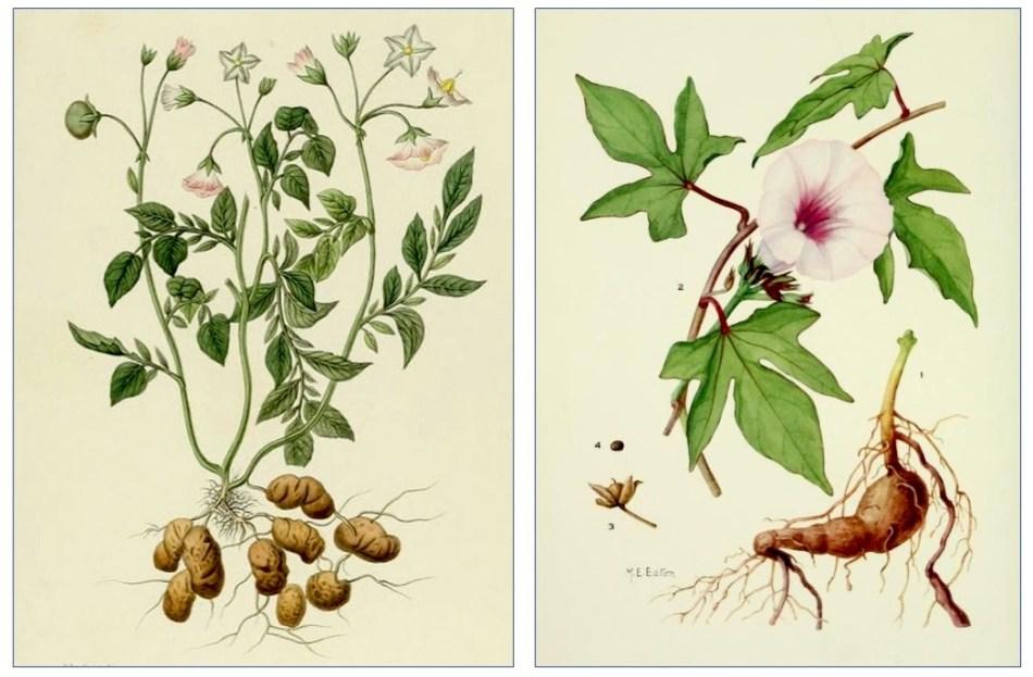 Illustrations botaniques montrant les différences entre la pomme de terre et la patate.