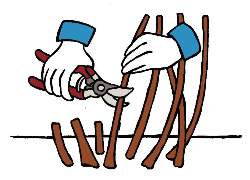 Illustration montrant un sécateur qui fait une coupe de rajeunissement.