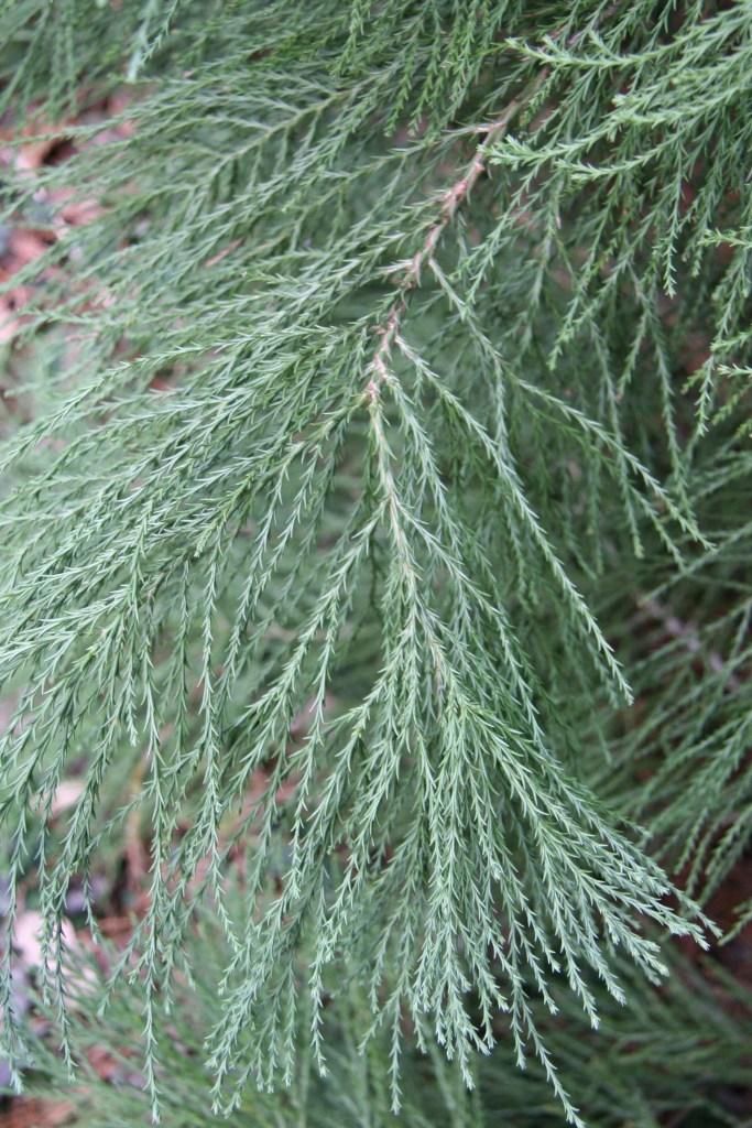 Aiguilles de séquoia géant