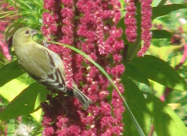 Oiseau se nourrissant des graines d'Amarante queue-de-renard