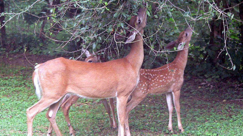 Cerfs qui broutent des branches d'arbre