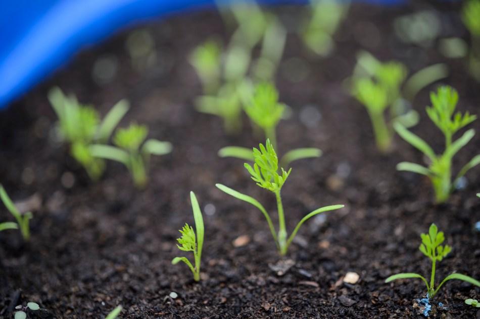 Jeunes semis de carottes.
