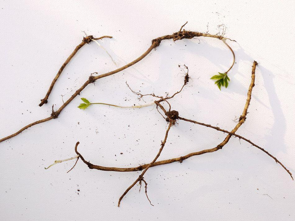 Rhizomes d'herbe au goutteux