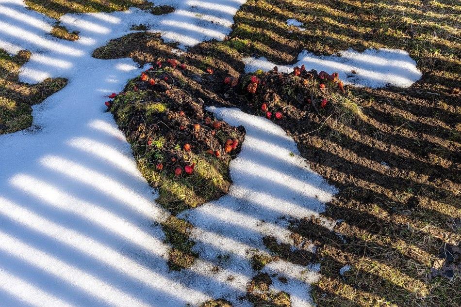 Nouvelles pousses de rhubarbe au printemps, entourées de neige.
