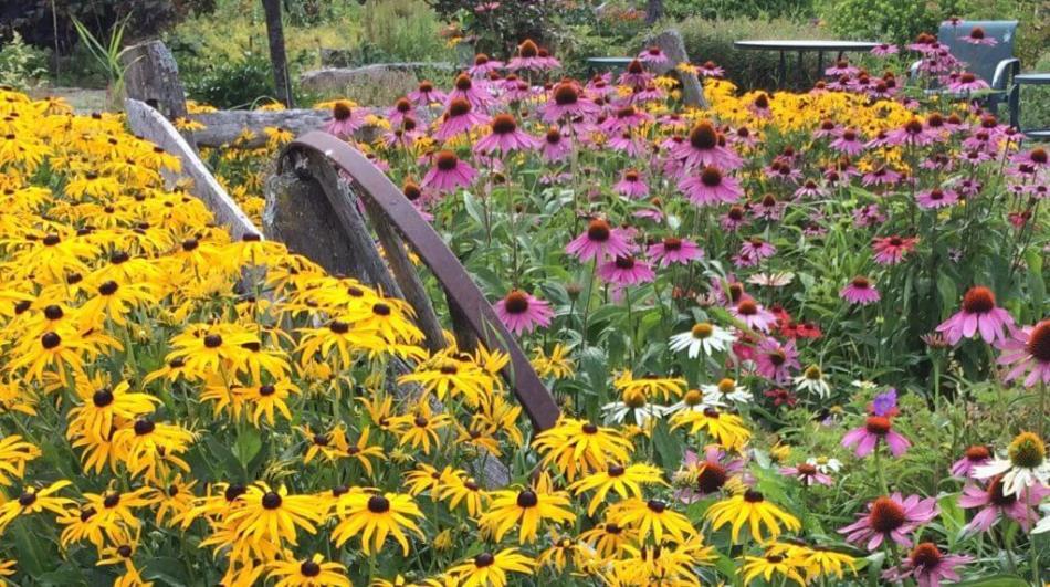 Rudbeckies (fleurs jaunes) et échinacées (fleurs roses et blanches) dans un jardin.