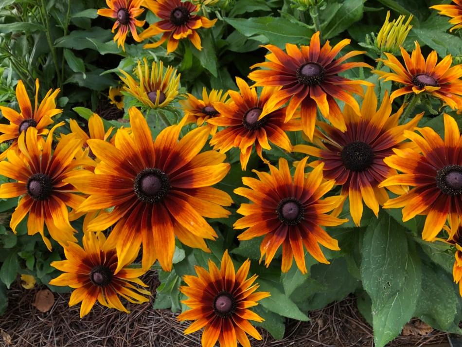 × Echibeckia Summerina® Sizzling Sunset™ aux grandes fleurs oranges au centre brun.