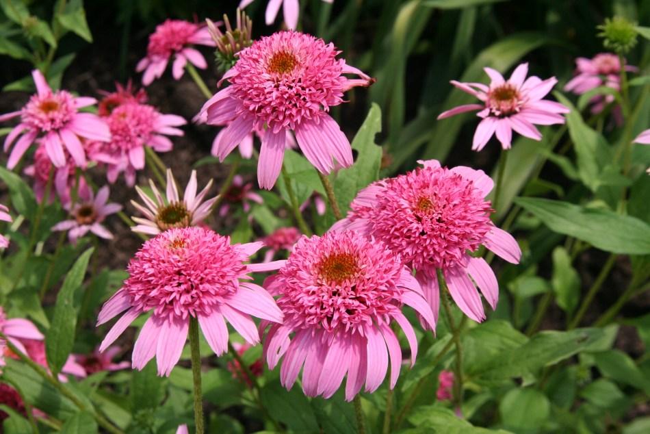 Echinacea'Pink Double Delight' avec des fleurs matures roses doubles et des fleurs immatures encore simples.