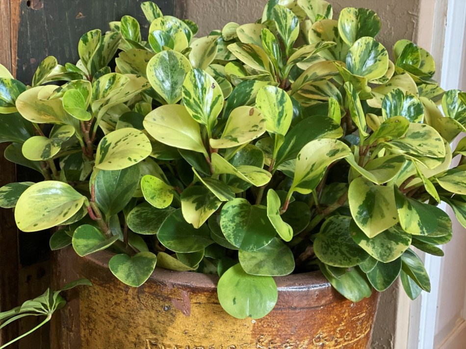 Peperomia obtusifolia'Variegata'