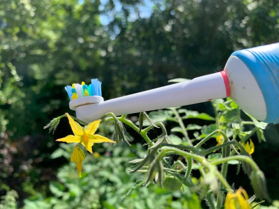 Brosse à dents électrique qui pollinise une fleur de tomates.