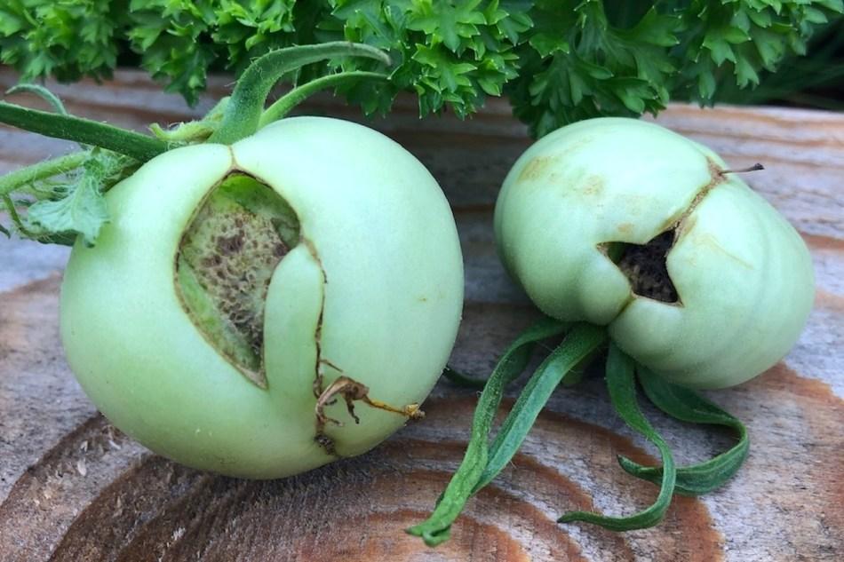 Face de chat sur 2 tomates vertes.