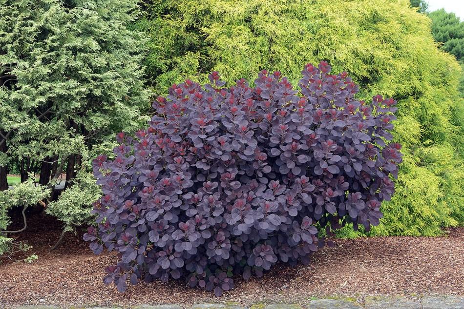 Arbre à perruque 'Royal Purple' taillé sévèrement au printemps et maintenant formant une boule de feuillage.