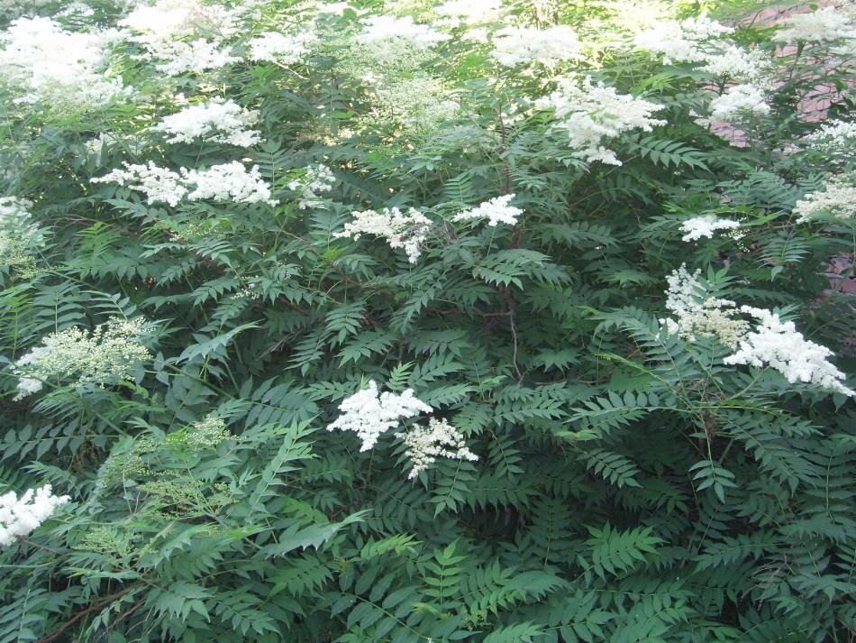 Sorbaria à feuilles de sorbier avec des fleurs mousseuse blanches.