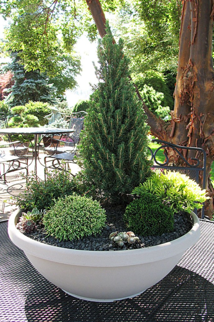 Jardin de conifères miniatures en pot