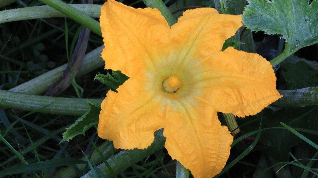 Fleur de courge mâle.