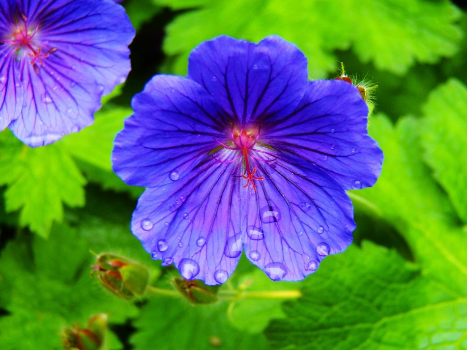 Fleur de géranium: tous les pétales sont identiques.