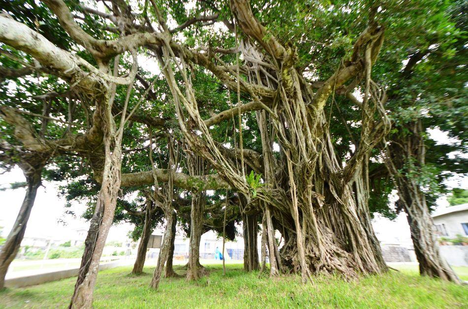 Ficus microcarpa aux racines échasses