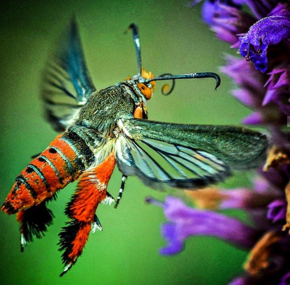 Adult squash borer moth feeding on flower nectar