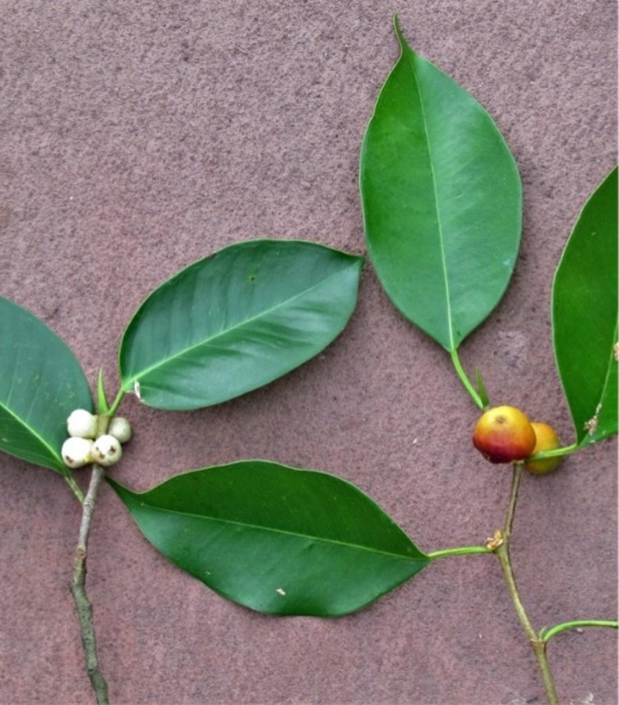 Comparaison des feuilles de Ficus microcarpa à celles de Ficus benjamina.