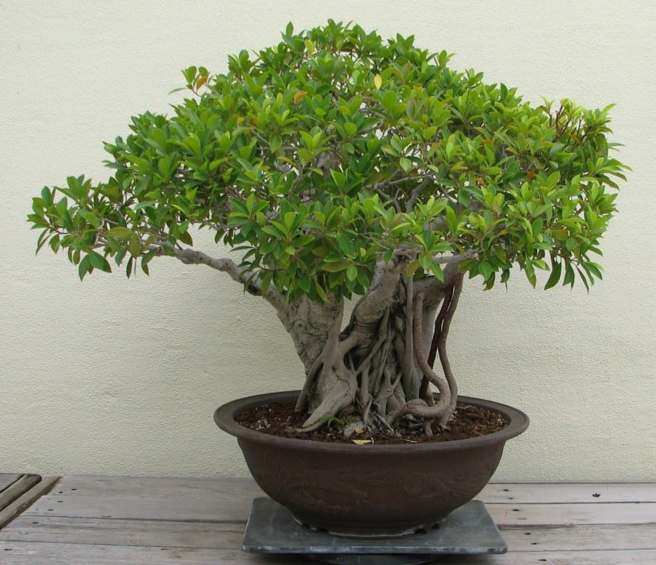 Ficus microcarpa en bonsaï.