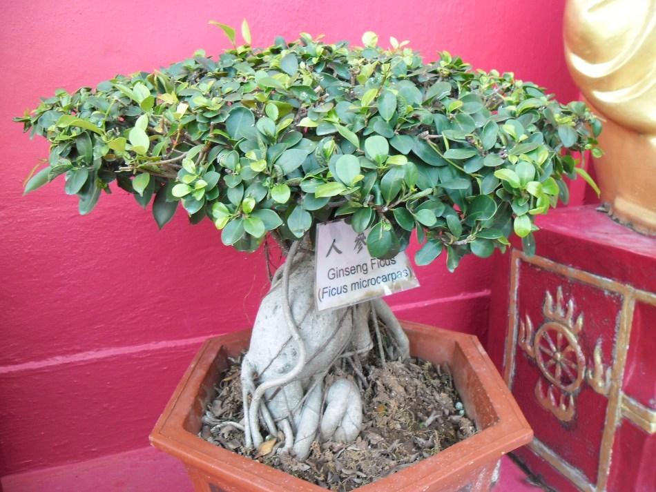 Ficus ginseng avec racines aériennes.