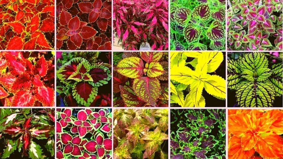 15 variétés de coléus
