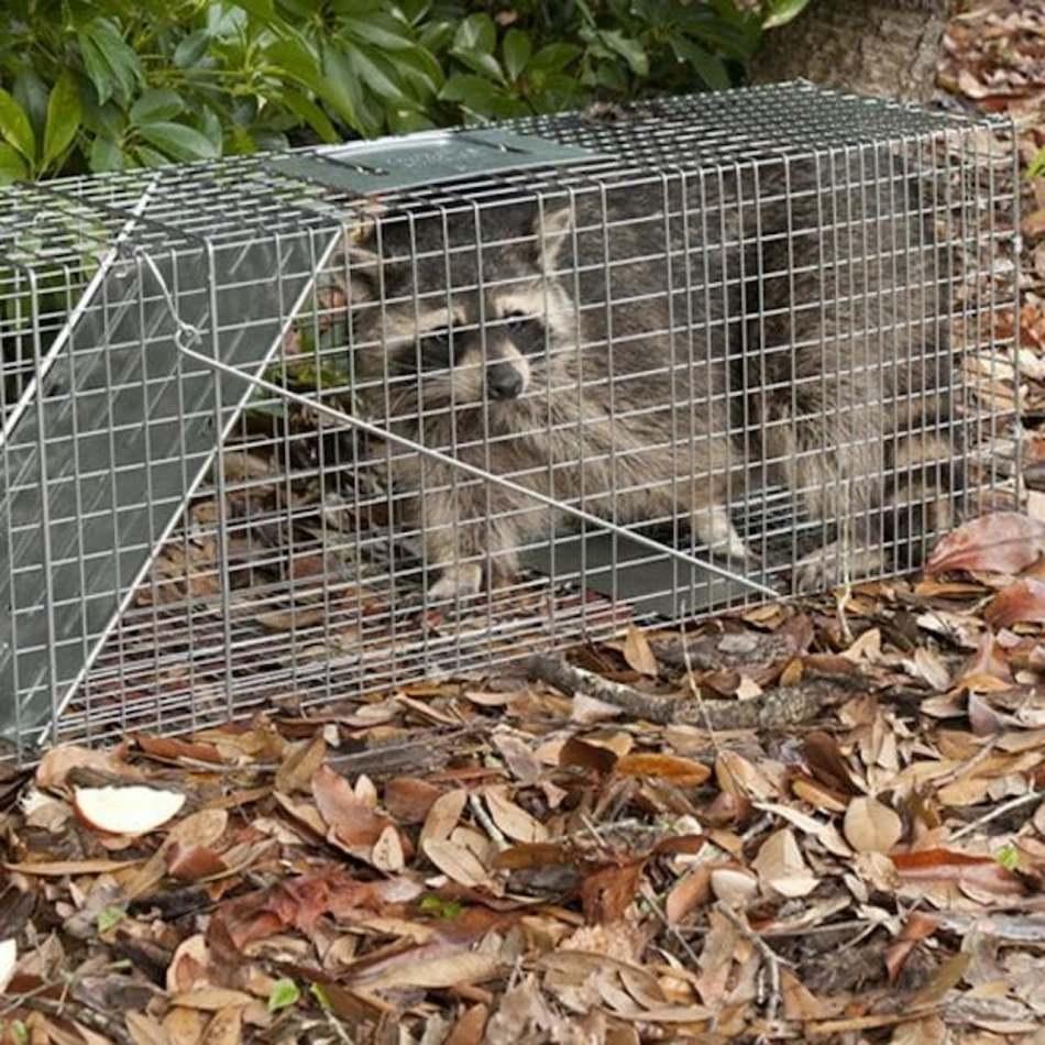 Piège pour animaux vivants avec raton laveur à l'intérieur.