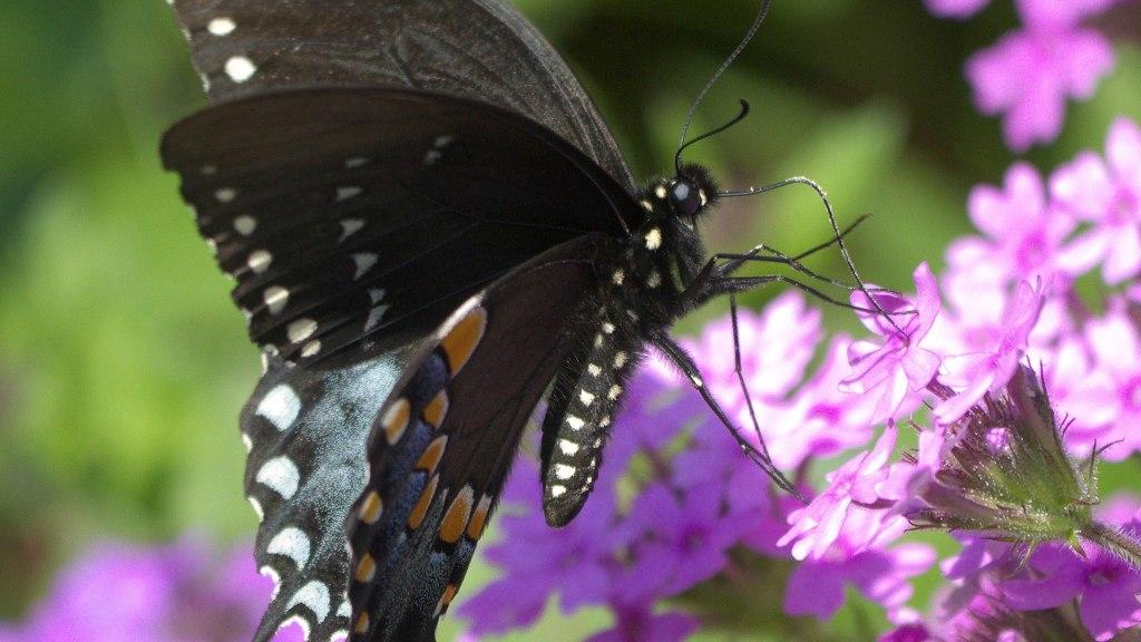 Papillon du céleri sur phlox