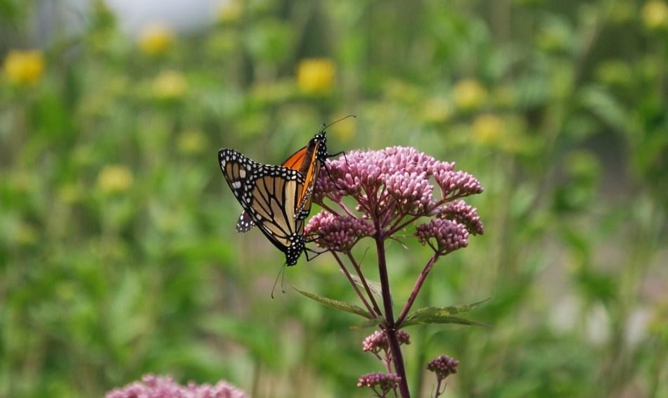 Papillon monarque sur une fleur d'eupatoire.