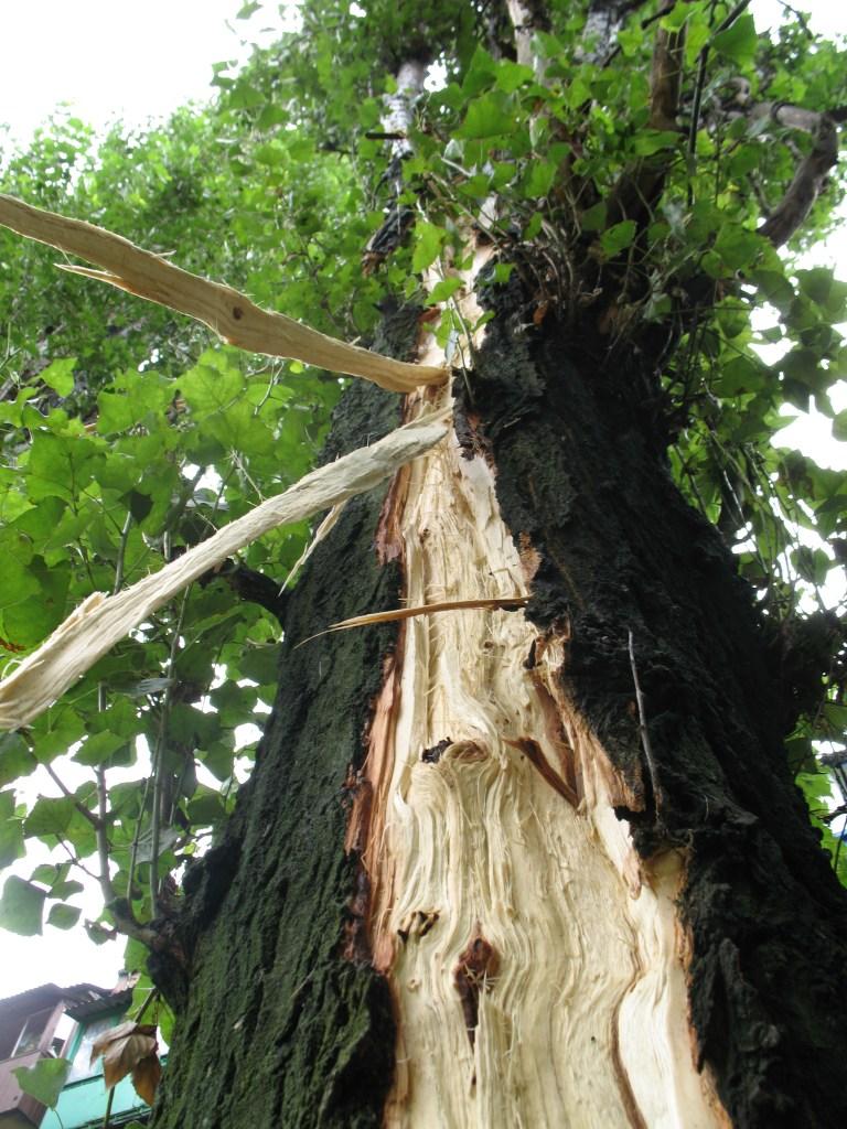 Dommages causés à un arbre par la foudre.
