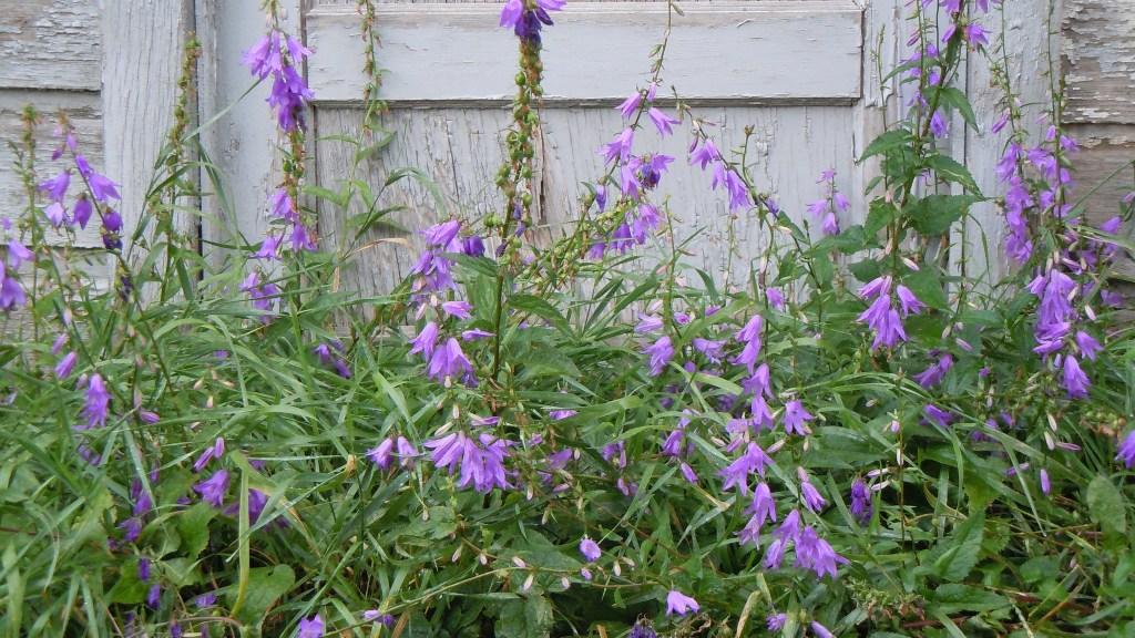 Campanule fausse raiponce en fleurs.