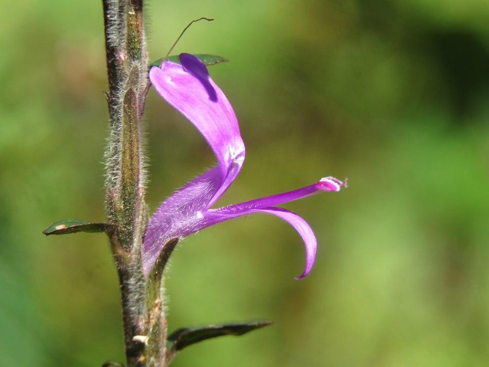 Fleur d'hypoestès.