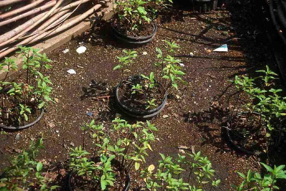 Pots enfoncés dans le sol, avec plantes à l'intérieur