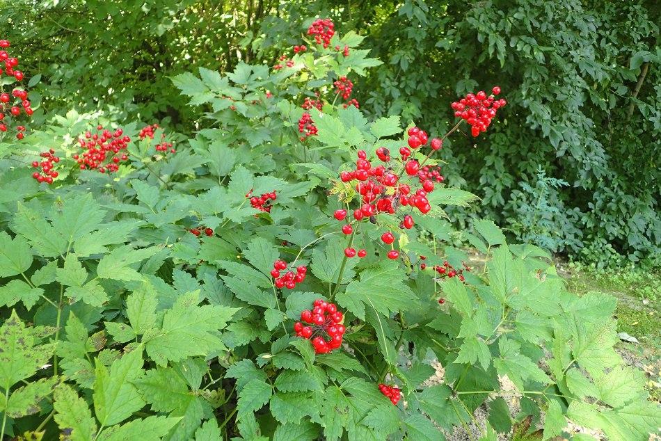 Fruits de l'actée rouge