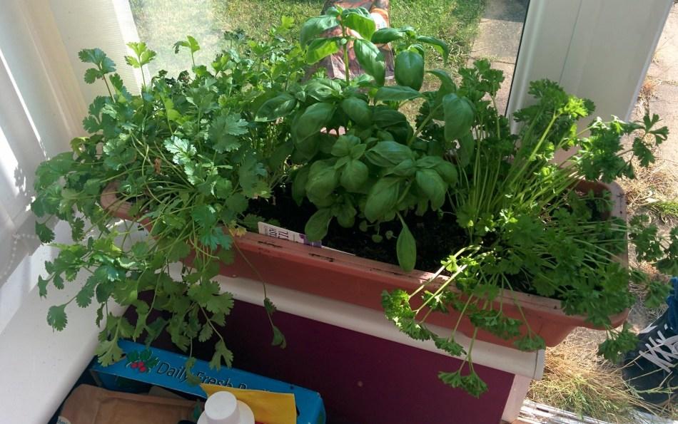 Fines herbes à l'intérieur sur un rebord de fenêtre.