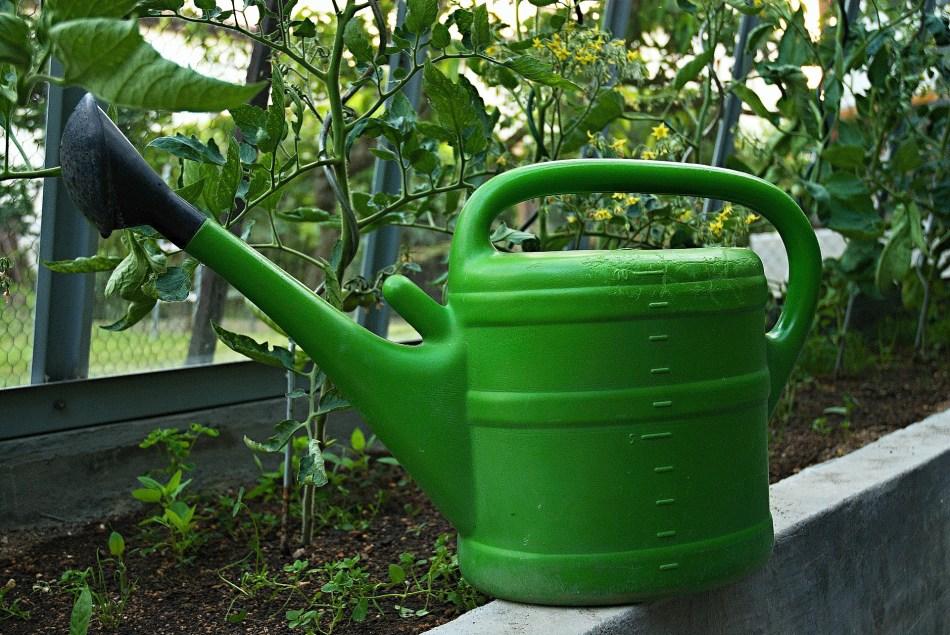 Arrosoir placé devant des plantes de tomate.